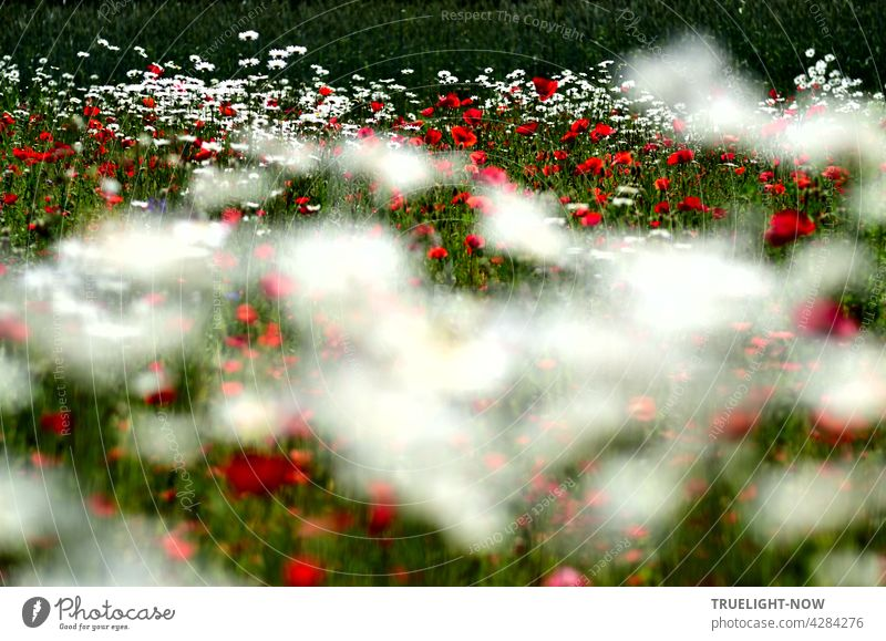 TRUELIGHT-NOW completely intoxicated and full of joie de vivre in a green-white-red sea of blossoms of poppies and daisies flowers at a forest edge with blurred moving foreground