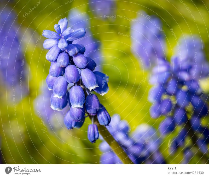 Flower of the Armenian Grape Hyacinth - Muscari armeniacum Blossom Plant plants flowering flower blossom Blossoming Nature blurriness naturally daylight