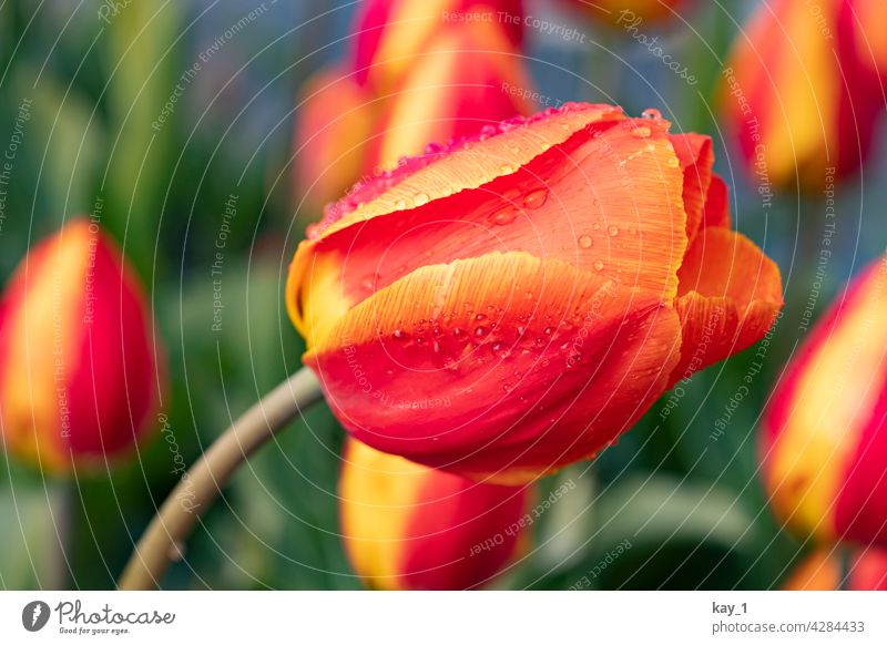 a tulip leaning to the side in a tulip bed Tulip tulips Tulip blossom Tulip field Spring Spring flower spring flowers spring garden Flower Blossom Plant Nature