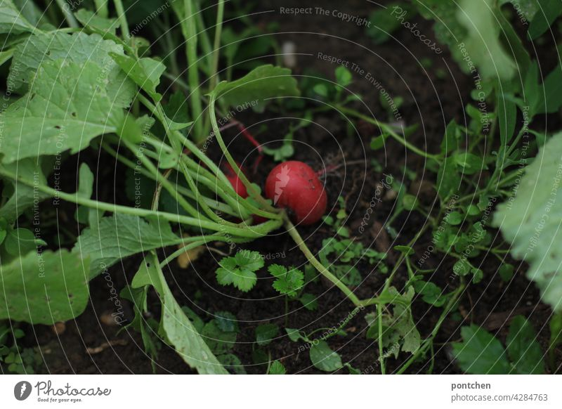 gardening. a radish grows in the earth Radish Earth wax do gardening reap Garden Gardening Leisure and hobbies Plant Summer