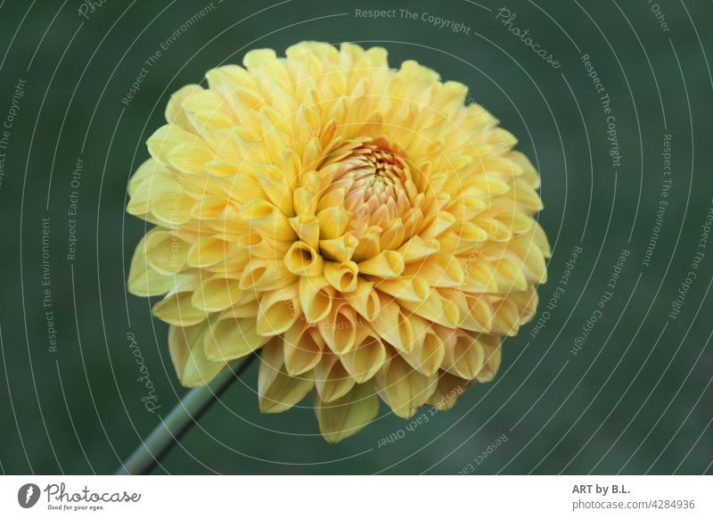 dahlia Flower Blossom soloist on one's own Yellow