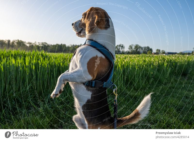 Hound dog on two feet looking around. background standing sniff hunter search seek nature face eye field animal beagle collar outdoors purebred park grass