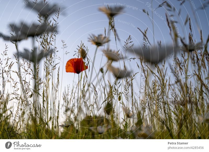A dab of red Red Poppy Poppy blossom grasses Blossom Meadow Flower Summer Plant Nature Wild plant Exterior shot blurred foreground Deserted nobody Blossoming