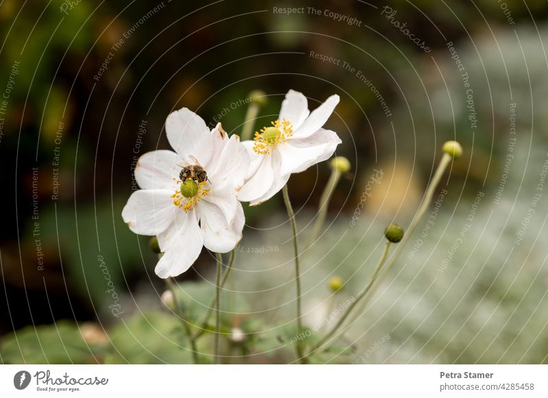 White flower with bee Blossom Bee Honey bee Animal Insect Flower Nature Plant Diligent Blossoming Sprinkle Farm animal Exterior shot Deserted nobody