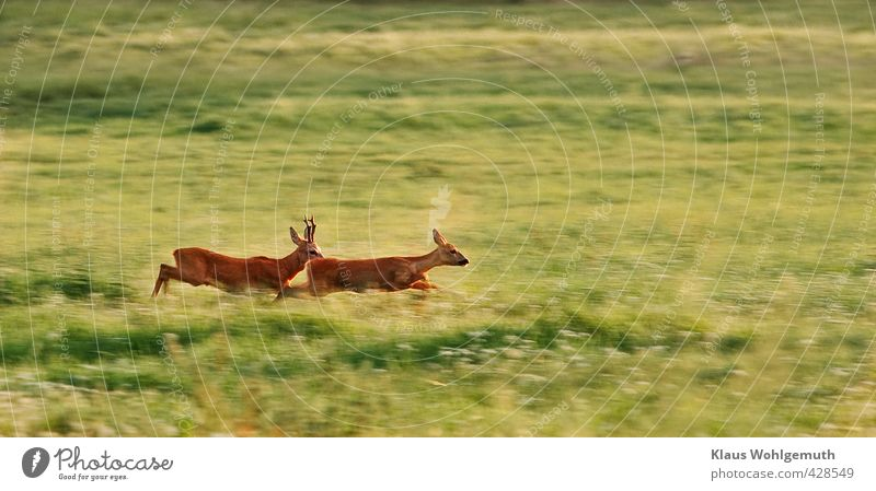 Nature Green Summer Red Animal Forest Environment Eroticism Meadow Grass Couple Brown Field Wild animal Pair of animals Sex
