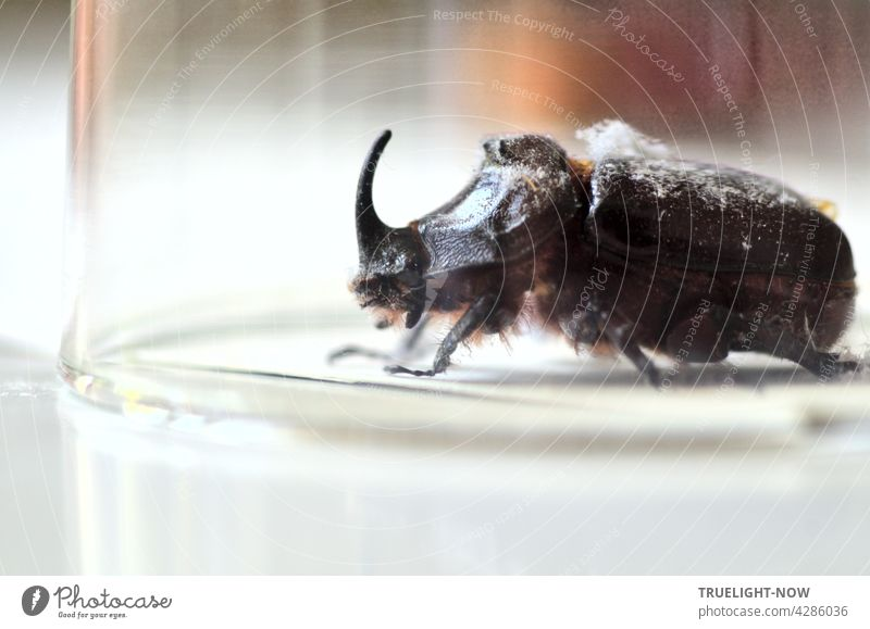 Primitive inhabitants of the earth: Rhinoceros beetle (Oryctes nasicornis) during a visit to my apartment, briefly placed under a glass for a photo before I returned it to the wild.