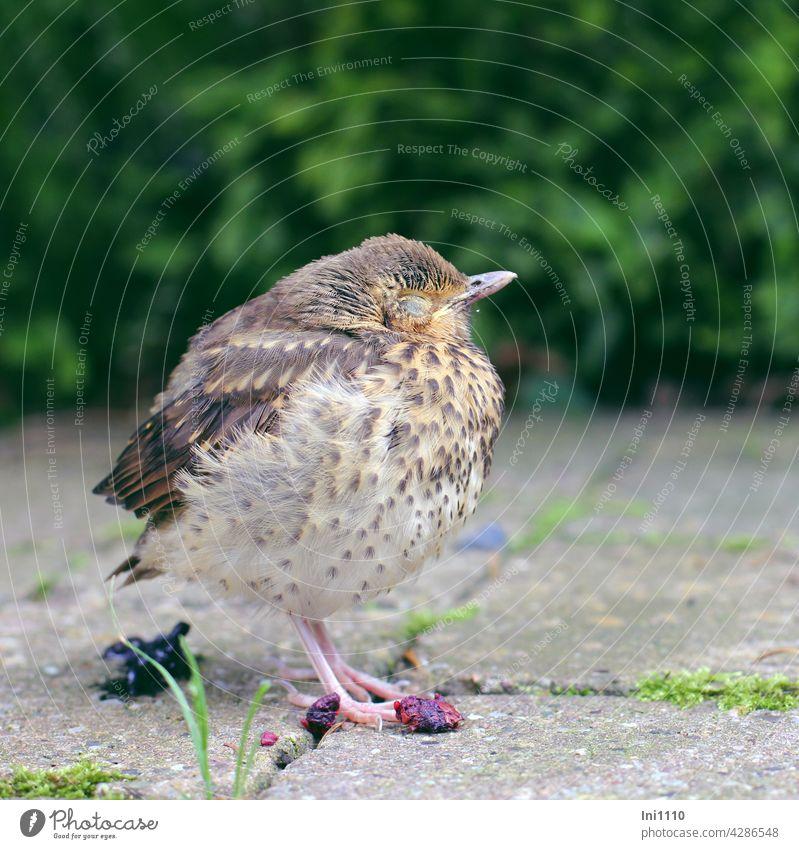 Thrush chicks - sleep, eat and k...... Wild animal Bird Young bird Chick songbird Throstle plumage Doze eyes closed Sleep food Berries To feed Feces shit Garden