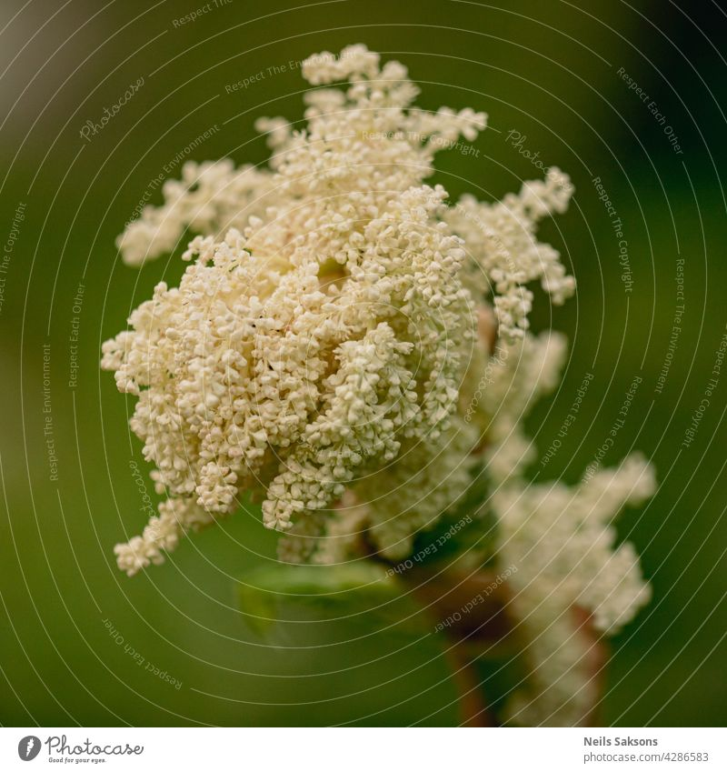 rhubarb white flowers close up on the dark green background leaf plant nature spring grow stem vegetable botany flora blooming blossom macro beautiful food