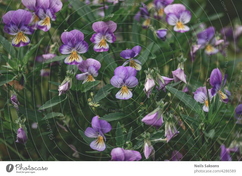 Pansy flowers (heartsease) or viola tricolor violet yellow pansies background pattern. Field of colorful pansies with blue yellow, purple flowers. Wild spring heartsease flowers on flowerbed