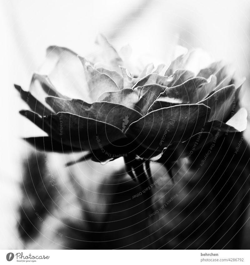 Light and shadow Death Transience Hope Belief Goodbye melancholically melancholy Black & white photo Noble Elegant Concern Nature Plant Flower pink Leaf Blossom
