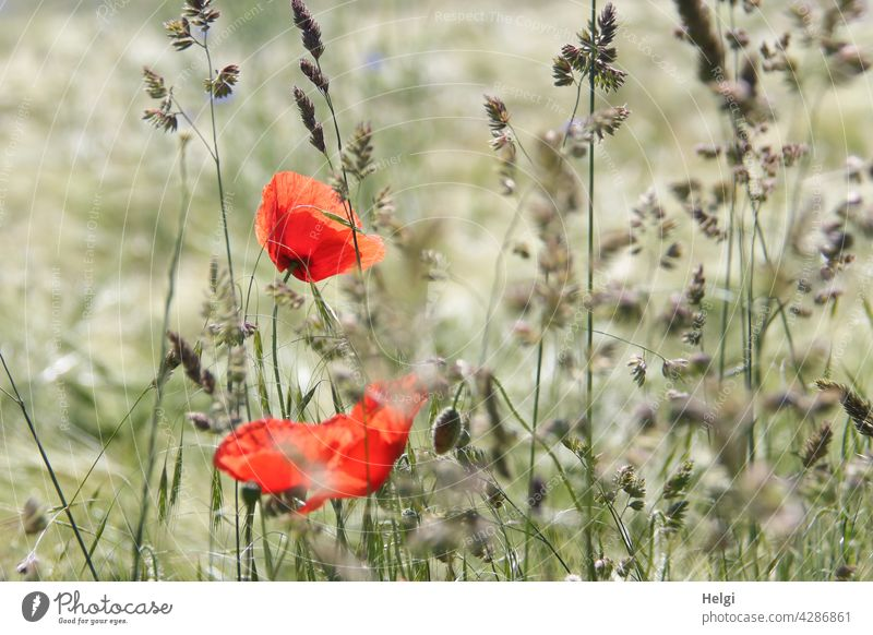 Mo(h)ntag - two blooming poppies and buds between grasses in the barley field poppy flower Poppy blossom Flower Blossom Grass Field Barleyfield Cornfield Grain