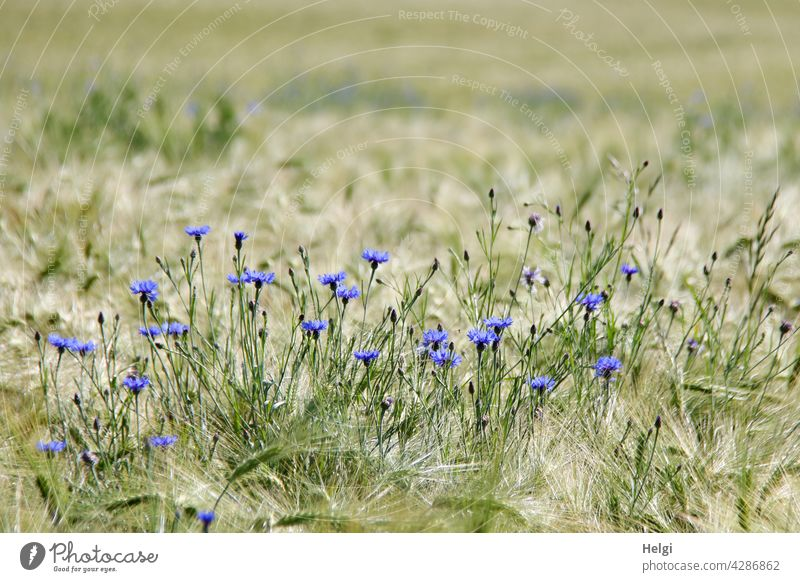 Blooming cornflowers in a barley field Cornfield Flower Blossom Grain Grain field Barley Barleyfield blossom wax Spring Landscape Nature Environment Agriculture