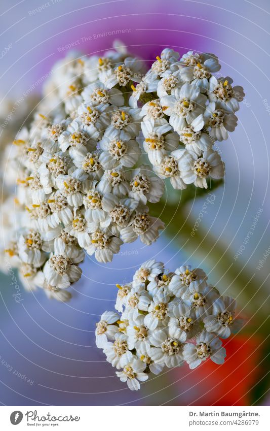 Common yarrow, total inflorescence Sheep Task Plant Flower inflorescences wild flower blossom composite asteraceae Compositae medicinal plant