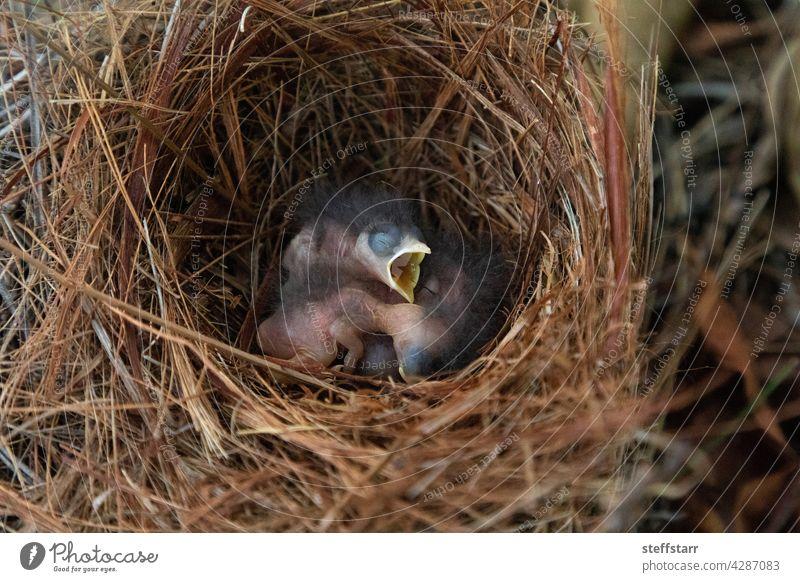 Hatchling bright bluebird Sialia sialis in a nest Baby tiny tiny bird small bird hungry Bird thrush eastern bluebird feathers tree perch Florida bird wild bird