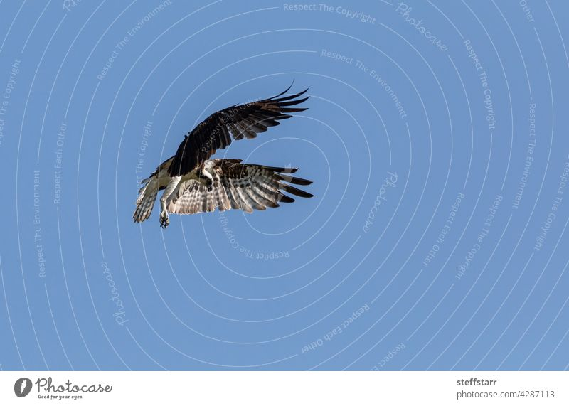Flying osprey Pandion haliaetus bird with wings spread and talons out against a blue sky Bird sea hawk bird of prey flying predator feathers dangerous nature