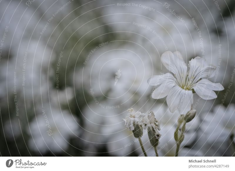 White flower white background white flowers white blossom Nature Blossom Spring Flower blurriness Blossoming Spring day come into bloom spring feeling Delicate