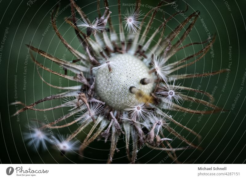 Dandelion: dandelion puff flowers Ease Easy fade wither withered End Sámen Plant Shallow depth of field Detail Macro (Extreme close-up) Delicate Airy