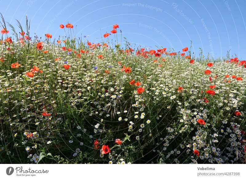 Poppy seed and chamomile Corn poppy Poppy blossom corn poppy blossom poppy blossoms Summer Sky Free space Copy Space Blue Nature Red Flower flowers Blossom