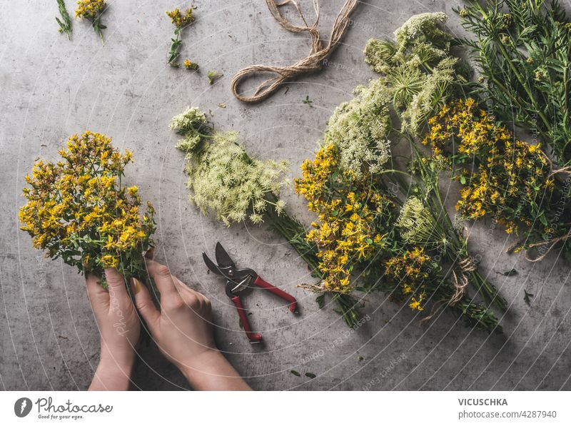 Woman hands preparing bundle of fresh medical herbs. Equipment like garden scissor, cord on grey concrete background. Natural and rustic concept. Top view