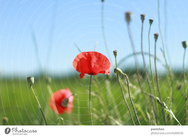 Poppies in the green. Country Life, Summer poppies Poppy Country life Nature Blossom Field Plant Red Meadow Flower Poppy field Landscape