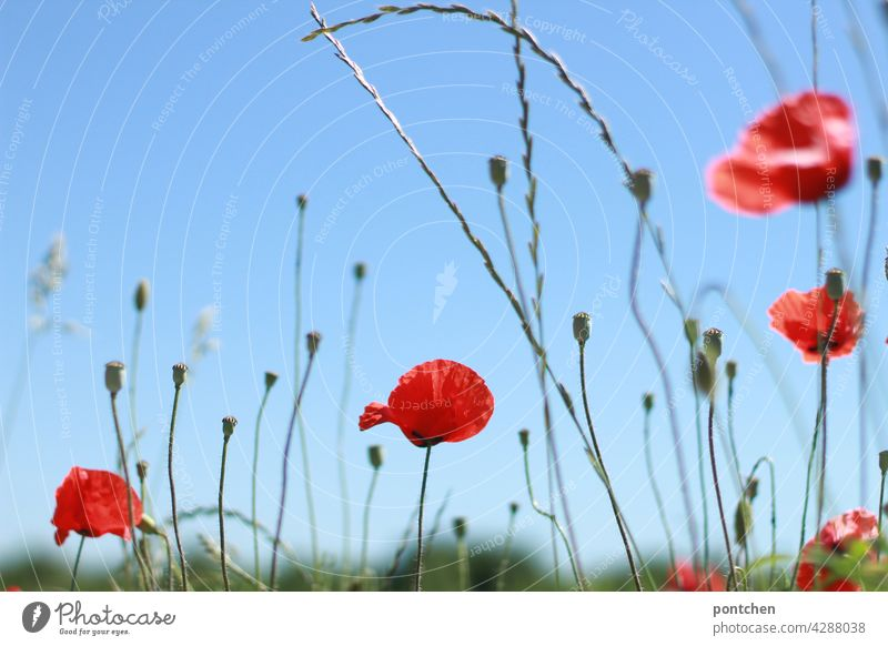 Poppies against a blue sky. Summer poppies Blue sky Nature Red Blossom Plant Poppy blossom Landscape Environment Deserted