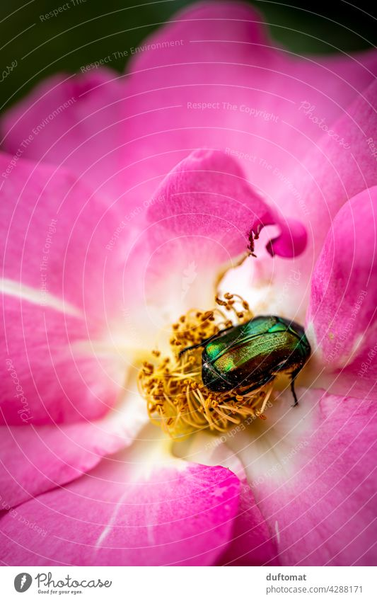 green iridescent rose beetle in the middle of a flower purple Rose beetle Blossom Flower Plant Dazzling blossom Nature Garden Pistil pink Green Beetle