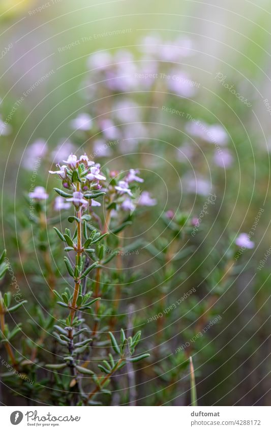 Flowering thyme, shallow depth of field plant Fresh Herbs and spices herbaceous Thyme Rosemary Blossoming Green Food Healthy Raw season Ingredients Italian Diet
