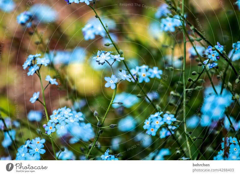 favourite flower Close-up Detail Day Light Warmth Delicate Summery Blue Nature Plant Spring Beautiful weather Forget-me-not Wild plant Blossom Leaf Grass Flower