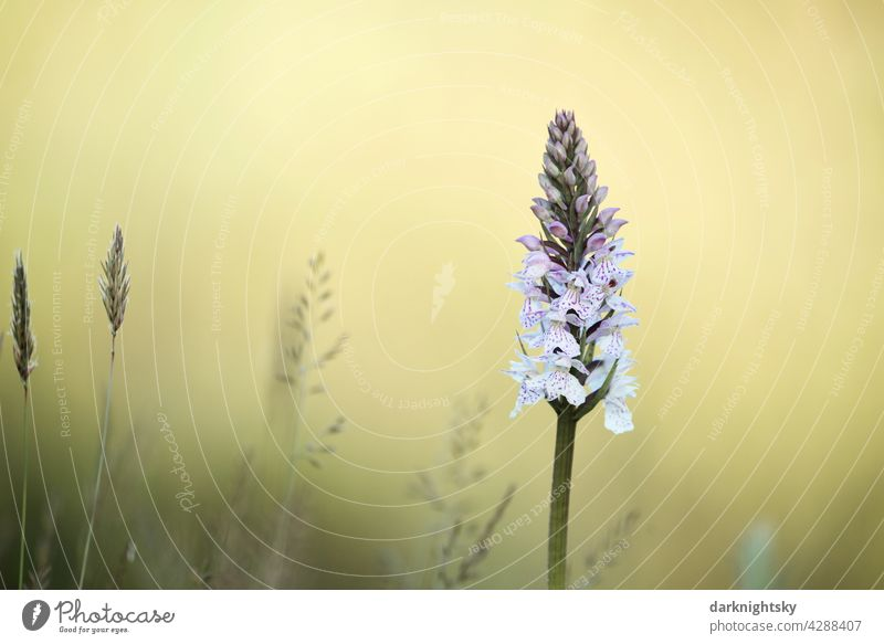 Spotted orchid, Dactylorhiza maculata with a light yellow background Nature Flower Copy Space Orchid unpeopled wild flower Summer Spring safeguarded heyday