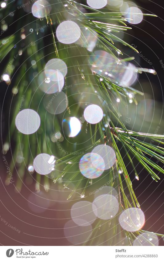 a Scots pine in a shower of light Jawbone Pine needle rain of light Light Rain raindrops light reflexes Light reflection conifer branch Aromatic