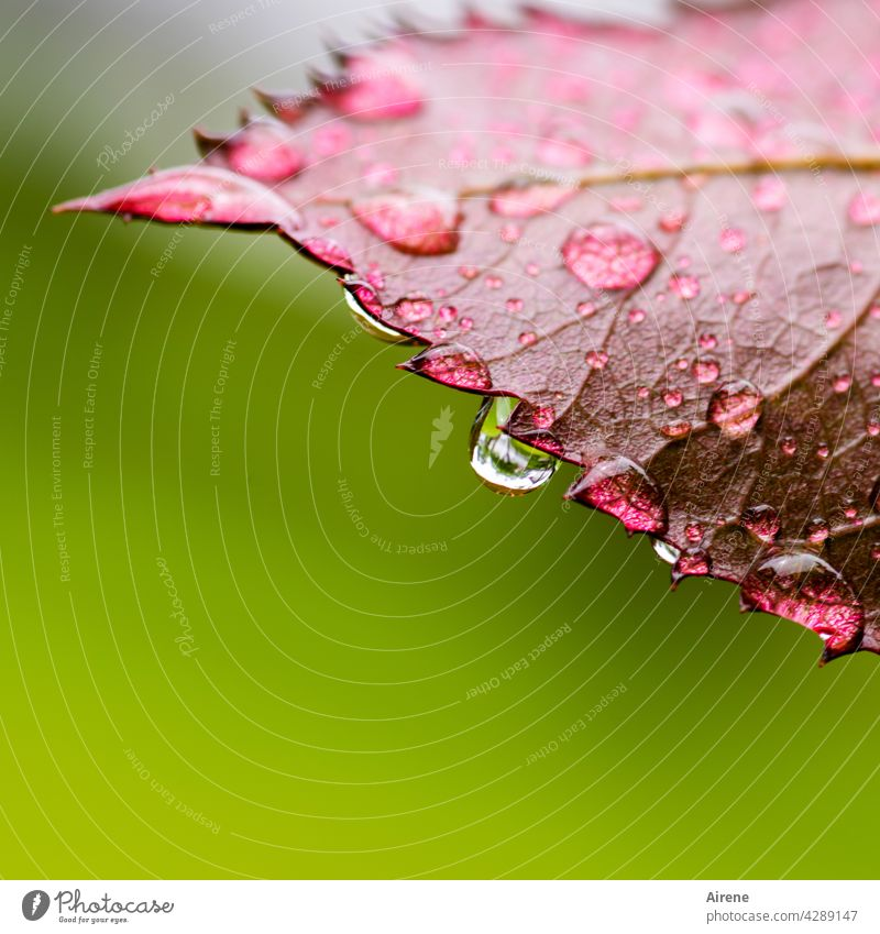 Cooling water on saw blade Leaf Drops of water Rain Fresh Wet Green naturally Glittering Water Red Garden Pure Illuminate Esthetic Prongs Grief To fall