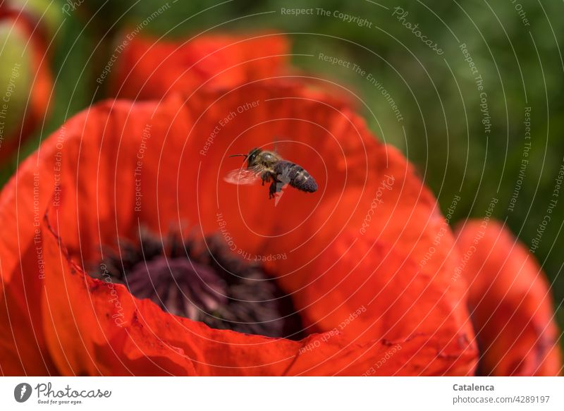 Monday for busy bees Nature flora fauna Animal Insect Bee Honey bee Fly Pollen Plant Corn poppy Poppy Blossom Blossom leave blossom Summer Beautiful weather Day