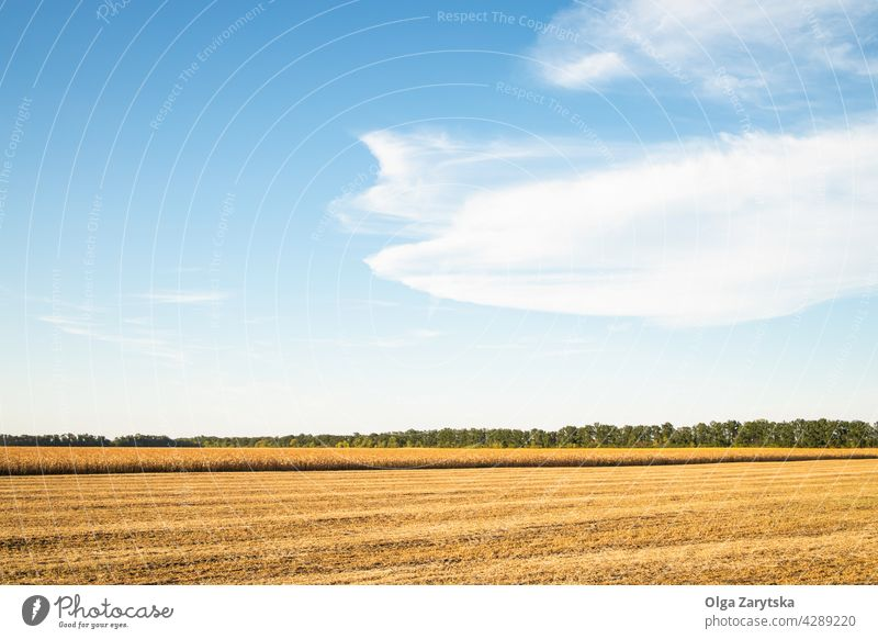 Summer cornfield harvesting. corn-mowing stabble mais sky blue yellow cloud landscape nature agriculture summer scenery rural farm countryside calm horizon