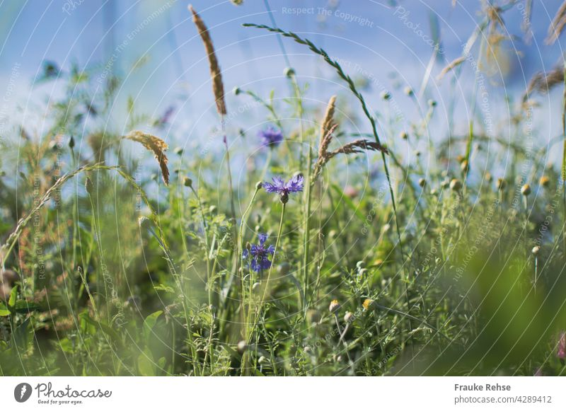 Cornflowers and grasses in sunlight against blue sky Violet Blue Green summer meadow Sky Blue sky Summer sway with the wind in the wind Grass Meadow