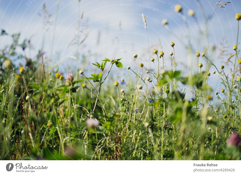 Flower meadow in sunlight against blue sky buds marguerites Clover blossoms Cornflower Violet Blue grasses Green summer meadow Sky Blue sky Summer Grass Meadow