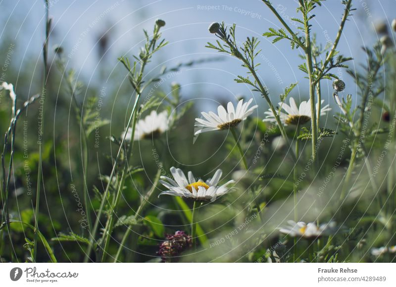 Daisies - flowers and buds in the sunlight against a blue sky Marguerite White Yellow Green summer meadow Sky Blue sky Summer Grass Meadow Margin of a field