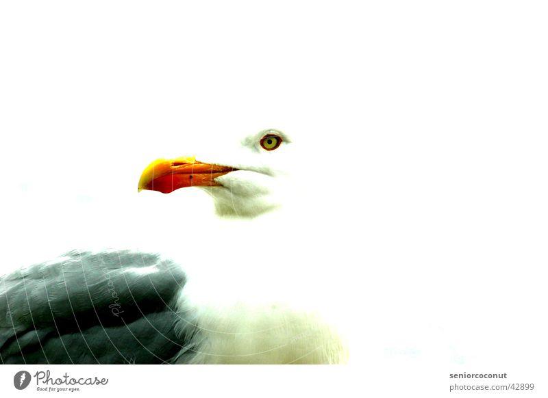 seagull Seagull Bird Beak feathers Contrast