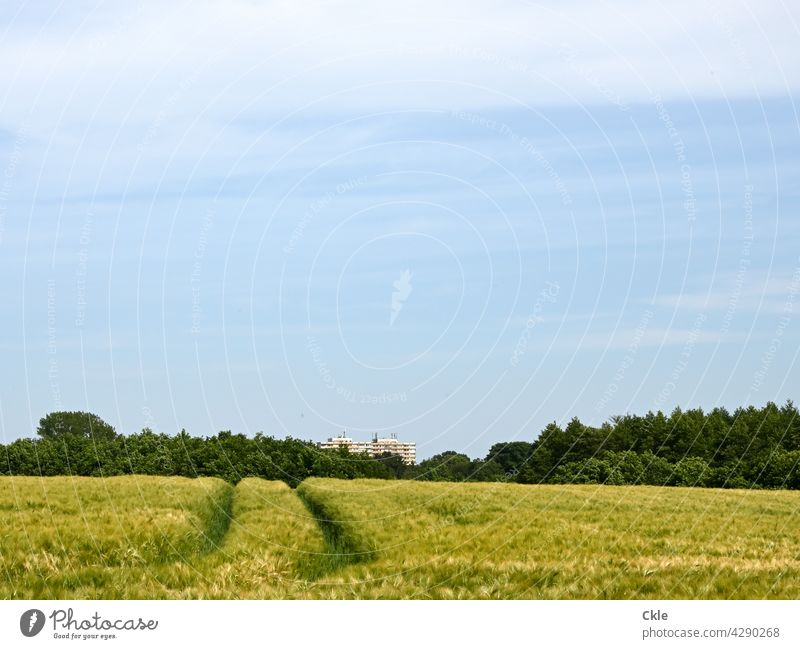 View over wheat field to Bad Oldeslo high rise building Grain High-rise Agriculture Cornfield Agricultural crop Grain field Wheat Wheatfield Nature Ear of corn