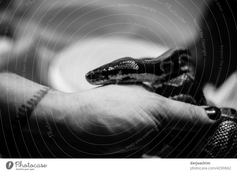 Little snake slithers out of hand and onto arm. She's all warm... Snake Animal Animal portrait Close-up Wild animal Interior shot Detail Day Exotic Flake