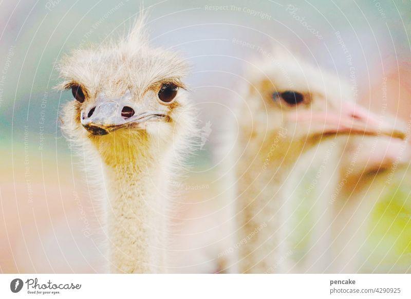 da kiekste, wa? Vogel Strauß Straußenvogel schauen Tier Tierportrait hell Nahaufnahme Kopf Federn gucken