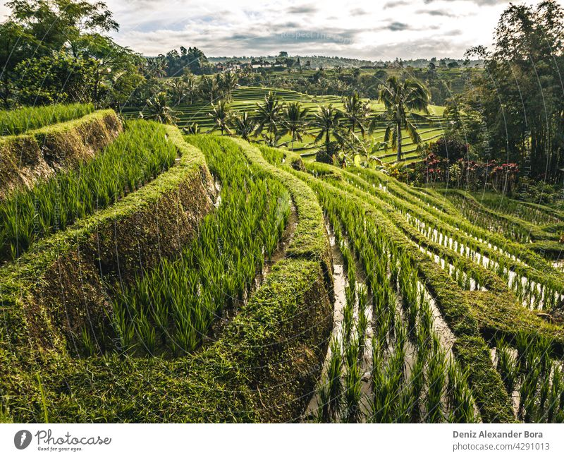 View on rice fields, rice terrace in Jatiluwih Bali Indonesia bali jatiluwih indonesia nature summer peace ecofriendly beautiful travel mother nature greens