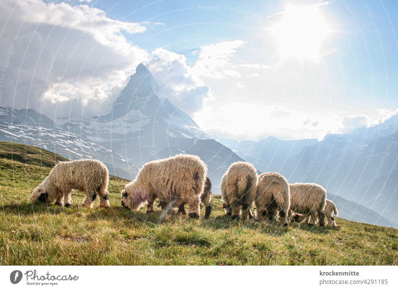 Flock of sheep grazing in front of the Matterhorn in Switzerland Sunbeam Light (Natural Phenomenon) Silhouette Canton Wallis Hiking Group of animals Sheep