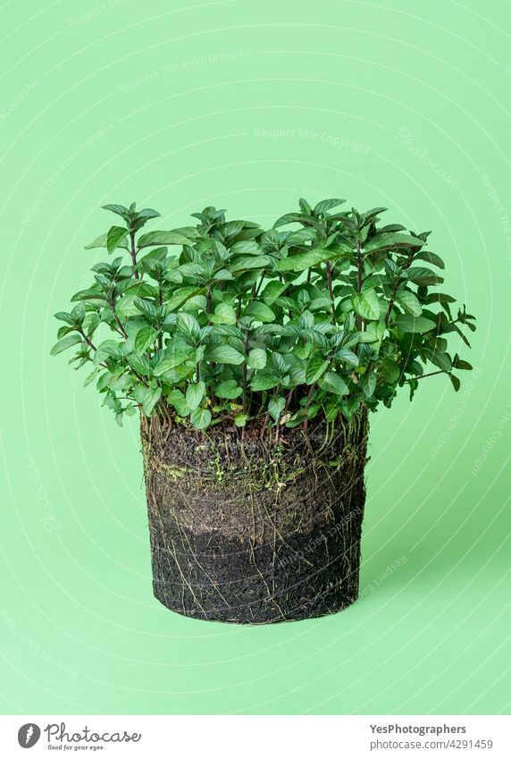 Mint plant growth in the soil. Pot plant isolated on a green background. Spring agriculture biology black botany concept cultivate cut out details develop dirt