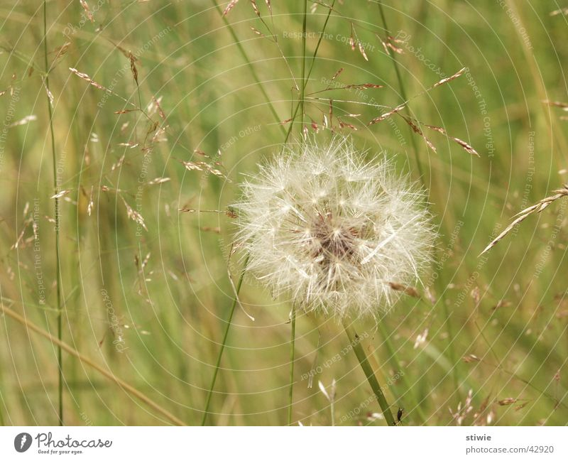 Flower Green Plant Summer Autumn Blossom Grass Wind Lawn Dandelion
