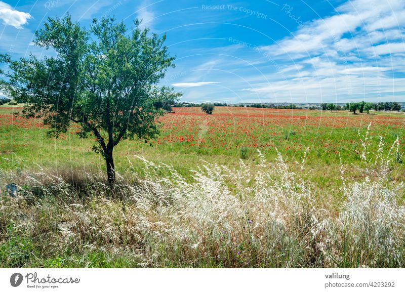 Red poppies in a field, spring background Castilla La Mancha Spain beautiful beauty bloom blossom color countryside decorative environment flora floral flower