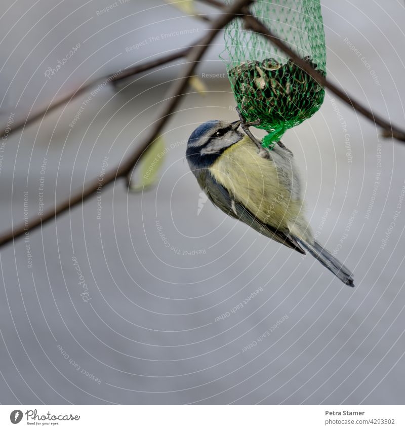 Blue tit hanging from feed bag Tit mouse Bird Animal Wild animal Yellow Suspended Feed Bag food Food intake Exterior shot twigs Full-length nobody Deserted