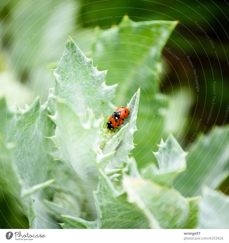 2 ladybugs have fun in the green Ladybird Summer Green leaves Leaf green augmentation Propagation Reproduction in the animal world Beetle insects Nature Insect