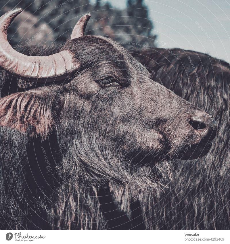 wir sind die guten Büffel Wasserbüffel Alb schwäbisch historisch Mozzarella Käse Tier freundlich heimisch Tierportrait Kopf Büffelmozzarella Deutschland