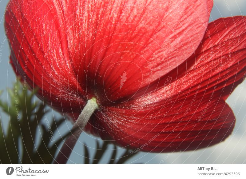 Rear view of a red anemone Red Flower Blossom fiery red Nature petals veins veining fibers flowery Close-up
