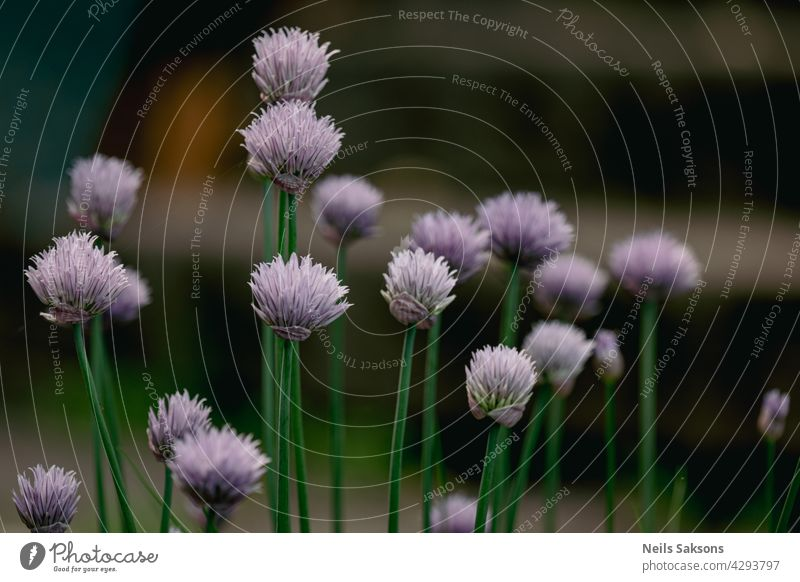 decorative onion in the garden. ornamental garden plant, large round purple flower close-up, flowering onions gardening allium opening inflorescence blooming